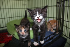 305/365/3227 (April 12, 2017) - It's Kitten Season! Cats and Kittens at Crafty Cat Rescue (Ann Arbor, Michigan) - Wednesday April 12, 2017 (cseeman) Tags: cats pets craftycatrescue annarbor michigan shelter adoption catshelter catrescue caring animals craftycatphotos04122017 kittens 2017project365coreys yearnineproject365coreys project365 p365cs042017 356project2017