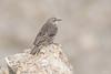 Rock pipit (Shane Jones) Tags: rockpipit pipit bird wildlife nature nikon d500 200400vr tc14eii