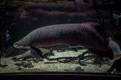 750_9796 (jinkemoole) Tags: 海遊館 aquarium pirarucu arapaima fish