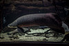 750_9796 (jinkemoole) Tags: 海遊館 aquarium pirarucu arapaima fish