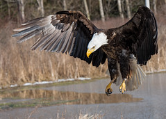 Coming in for a landing (Jen St. Louis) Tags: canada ontario simcoe canadianraptorconservancy eagle baldeagle inflight landing captive raptors raptor nikond750 nikon70200mmf28 jenstlouisphotography wwwjenstlouisphotographycom bird birdsofprey