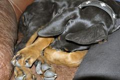 Dobermann-Hündin (borntobewild1946) Tags: hund dog copyrightbyberndloosborntobewild1946 dobermannhündin femaledog dobermann