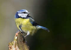Blue tit (George Findlay) Tags: blue tit bird nikon sigma ayrshire