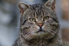 Interest (PaukSK) Tags: cat portrait canon eos m5 dof bokeh eyes eye nostrils nose whiskers ears ef
