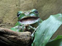 Frosch (Gertrud K.) Tags: frog green amphibian zoo