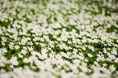 Anemone nemorosa (Stefan Gyllenhammar) Tags: 8ftestmajmay2017 vitsippor råda maj 2017 macro sigma nikon d7100 anemone nemorosa säteri mölnlycke vitsippa sweden sverige vår spring white vit grön green stefan gyllenhammar dg hsm 105 mm 28 f test may