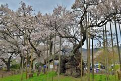 Jindai-sakura (namhdyk) Tags: cherry cherryblossoms sakura jindaisakura 山高神代桜 canon canonpowershot canonpowershotg7x