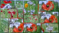 Jachère fleurie...... (brigeham34) Tags: montagephotos jachèrefleurie coquelicots phacélias pavotsdecalifornie linrouge iris