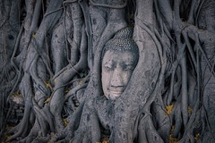 Buddha head entwined in tree roots at Wat Mahathat in Ayutthaya, Thailand (UweBKK (α 77 on )) Tags: buddha head roots tree wat maha that mahathat ayutthaya thailand southeast asia history historical ancient ruins religion religious buddhism buddhist sony alpha 77 slt dslr