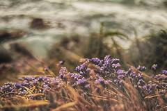 Sea Breeze (Ivona & Eli) Tags: flower israel sea shore cliff arshaf apollonia middle east blur foliage nature nohuman
