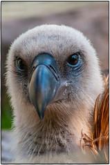 Gänsegeier  Hier ein Gänsegeier Wochen ich mal in der Wilhelma gesehen hatte. (Wagner Tobias) Tags: geier stuttgart tier tierpark wilhelma zoo bw deutschland deu greifvogel habicht altweltgeier griffon vulture griffonvulture gypsfulvus accipitridae