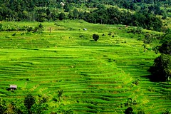 TERRACED RICEFIELD (endihherawandih) Tags: endih herawandih ricefield terracedricefield sawah terasering conservation traditionalconservation
