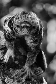 The lovely Parauacu or Amazonian Saki Monkey