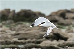 Zilvermeeuw (HP025489) (Hetwie) Tags: capblancnez opaalkust sea kust coast cotedopale capgrisnez cap frankrijk strand france zee audinghen hautsdefrance fr