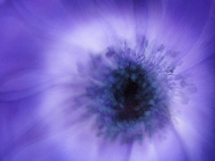 Anemone spinning blur (Tomo M) Tags: intentionalblur macromondays flower anemone spin petal purple blur