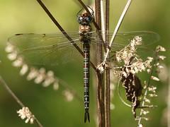 Swamp Darner (Epiaeschna heros) Female (Rezamink) Tags: epiaeschnaheros swampdarner dragonflies odonata usa