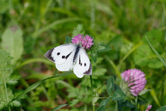 Pieris brassicae ♀ (Carla@) Tags: pierisbrassicae lepidotteri farfalle nature liguria italia europa mfcc canon wildlife naturallywonderful