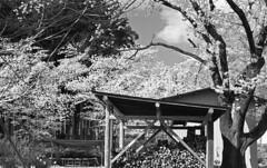 Cherry blossoms in full bloom (odeleapple) Tags: nikon f5 af nikkor 50mm orangefilter kodaktmax100 film monochrome cherry tree blossom firewood