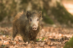 Le taigneux (Eric Penet) Tags: sanglier sauvage france faune forêt mammifère mormal locquignol wildlife wild forest boar sus scrofa animal avesnois printemps avril jeune marcassin