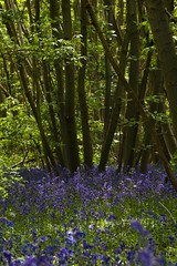 Bluebells in Sunlight (iamfisheye) Tags: broakswood camera greattotham kit olympus wood bell blue bluebells e3 essex sigma105mm