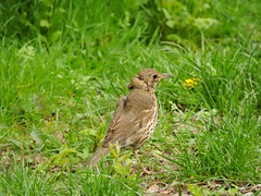 Thrush (deannewildsmith) Tags: earthnaturelife staffordshire bartonmarina thrush bird