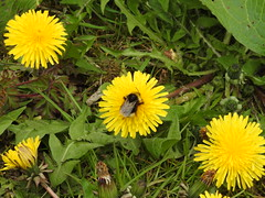 I choose the middle one. (Sharon B Mott) Tags: bee insect flyinginsect dandelions flowers springflowers wildflower nature spring ravenfieldpark april
