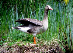Greater White-fronted goose (westietess) Tags: moresbypond birds april