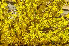 Spring Forysthia (gabi-h) Tags: forysthia flowers spring blooms blossoms gabih garden yellow cheerful bush signofspring colourful princeedwardcounty