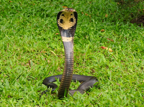 Monocle Cobra In The Hills Outside Hua Hin - Thailand