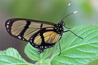 Giant glasswing (Methona confusa)