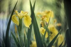 _DSC0773 (kymarto) Tags: bokeh bokehlicious bokehphotography dof depthoffield flowers flowerphotography nature naturephotography spring seasons china beauty beautiful sony sonyphotography sonynex7 oldlens vintagelens irises yellow dallmeyer maxlite