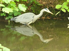A Heron fishing. (Puerto De Liverpool.) Tags: ardeacinerea greyheron heron hunting fishing catchingfish stalking predator britishbirds birds nature wildlife seftonpark liverpool merseyside uk reflection
