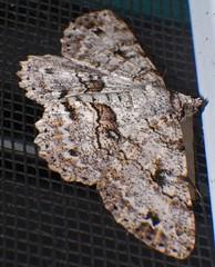 Cyclone Debbie refugee moth Antitrygodes sp Geometridae Sterrhinae Airlie Beach P1220351 (Steve & Alison1) Tags: cyclone debbie refugee moth airlie beach antitrygodes sp geometridae sterrhinae
