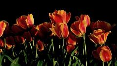 Tulips at sunset (jlcummins - Washington State) Tags: tulips garden flowers flowergarden flora washingtonstate yakimacounty ngc