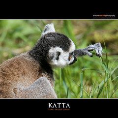 KATTA (Matthias Besant) Tags: animal animals tier tiere portrait europa africa african afrika afrikanisch afrikanischer mammal saeugetier afrikansiche afrikansiches lemur lemuren madagascar madagaskar mammalia saeugetiere gehege mammals landwirbeltier landwirbeltiere wirbeltiere katta kattas lemurcatta ringtailedlemur primat primaten lemuridae kiefermaeuler wirbeltier feuchtnasenaffe feuchtnasenaffen catta ringtailedlemurs givskudzoo zoo
