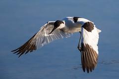 Avocet (Simon Stobart) Tags: avocet water flight majorca recurvirostra avosetta ngc npc coth5