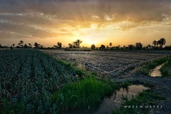 The Fields .. (Hazem Hafez) Tags: fields farms crop green harvest sunset sun water spring irrigation plants greenery produce agriculture farming soil land horizon