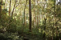 Turpentine (Syncarpia glomulifera) (Poytr) Tags: sydneyrainforest sydneyaustralia eucalyptus eucalyptusinrainforest lillypilly coachwood backhousiamyrtifolia forest rainforest