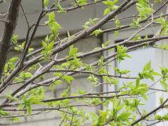 ** Les jeunes feuilles...** (Impatience_1 (peu...ou moins présente...)) Tags: feuille leaf branch syringareticulata lilasjaponais japanesetreelilac printemps spring m impatience