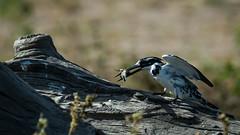 Kingfisher Pied-42.jpg (michael heyns) Tags: bontvisvanger botswana2017 piedkingfisher