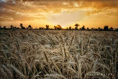 Wheat Sea .. (Hazem Hafez) Tags: wheatfields wheatcrop wheat harvest farms field sunset sun yellow gold agriculture