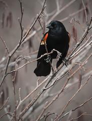 First Signs of Spring (Knarr Gallery) Tags: spring bird birding redwingedblackbird marsh swamp ontario waterloo cambridge nikon d300 tamronsp150600mmf563divcusd knarrgallery darylknarr knarrphotography