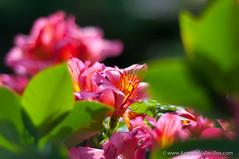 AVG_7928.jpg (Antonio M.Vallecillos) Tags: flores color verde primavera rosa campo astromelia