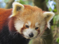 Red Panda - Explore #25  21 May 13 (sueeverettuk) Tags: uk england brown white canon fur nose eyes explore devon redpanda paignton shiningcat ailurusfulgen canonpowershotsx50hs canonpowershotsx50