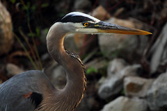 Great Blue Heron (Gator 5) Tags: portrait bird heron may hunter greatblueheron toledobotanicalgardens