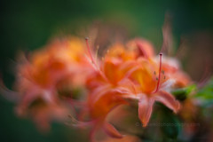 IMG_1556 (mikereidphotography) Tags: flowers abstract flower floral dof bokeh rhododendrons canonphotography zeiss50mmze