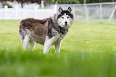 Tasha (John Sieber) Tags: dog dogs husky montana siberianhusky