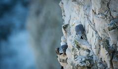 Kittiwake (Emmog) Tags: sea birds animals chalk wildlife yorkshire cliffs seabirds kittiwake bempton