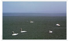 its raining cats and swans (eLKayPics) Tags: lake water rain swan hungary swans ungarn balaton regen magyarorszag plattensee k7 keszthely rainingcatsanddogs elkaypics