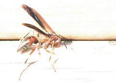 Waspish: For Assignment52 Artistically OverExposed (KristiDS) Tags: insect wasp overexposed assignment52232013